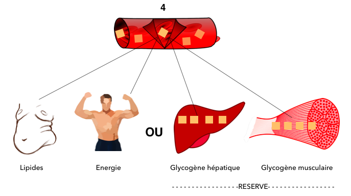 glycogène musculaire