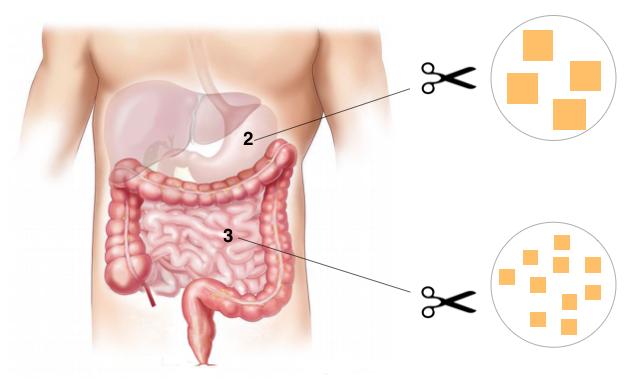 digestion des glucides